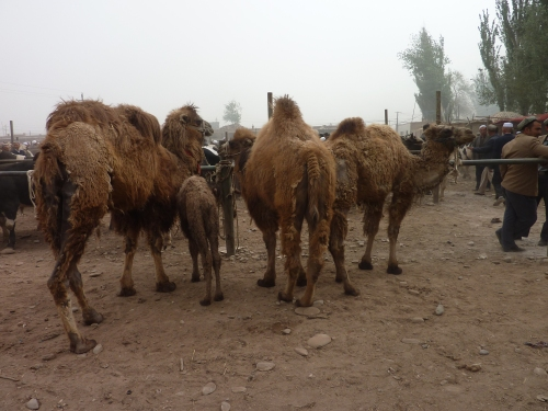 A few sad camels are still for sale.