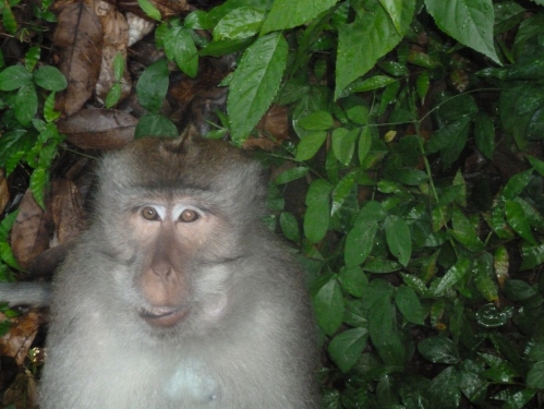 The Wallace Line - the deep water fault line between Bali and Lombok is said to be a demarkation line for fauna. But this monkey doesn't think so.
